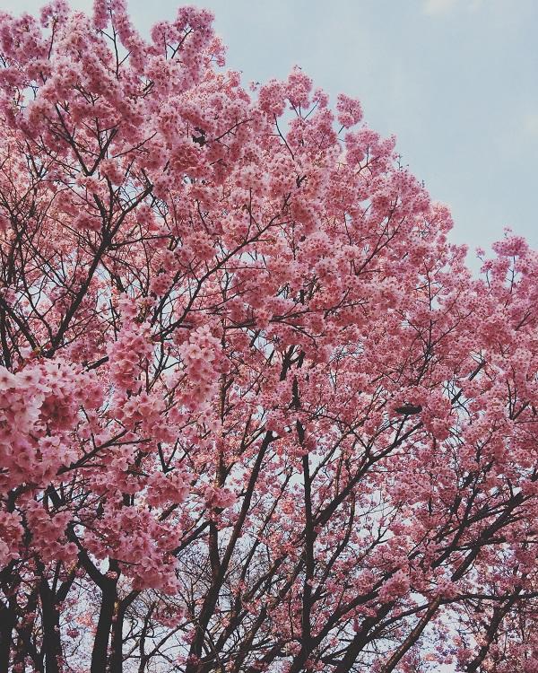 Cherryblossom rosa